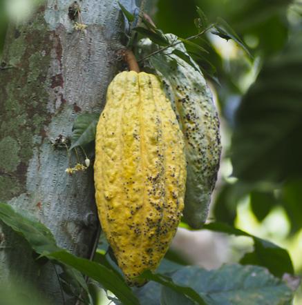 Cacao-Le-Lautrec-chocolat